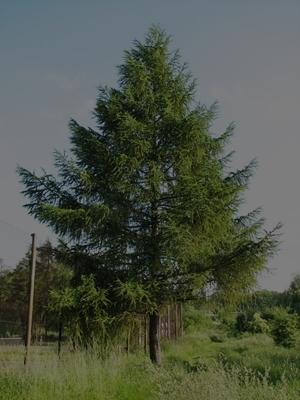 modrzew2